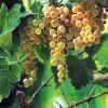 Orange Grapes Lee Lauritzen Natural Images